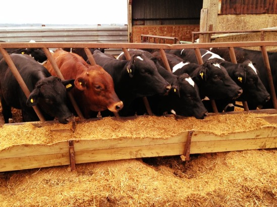 bulls mixed